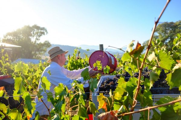 Hand Picking our own Vineyard